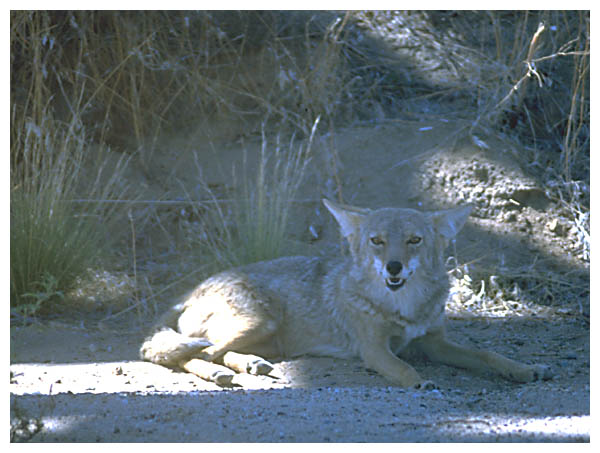 Coyote: A coyote resting near the road in Josua Tree National Park.