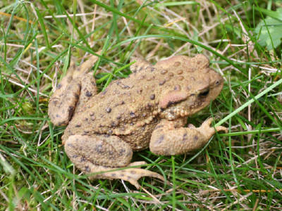 toad in our garden