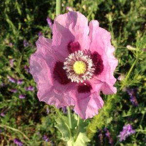 pink-poppy