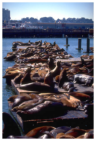 Sea lions overview: