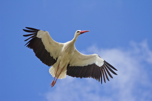 Carlos Delgado White Stork (Ciconia ciconia) in Madrid, Spain.